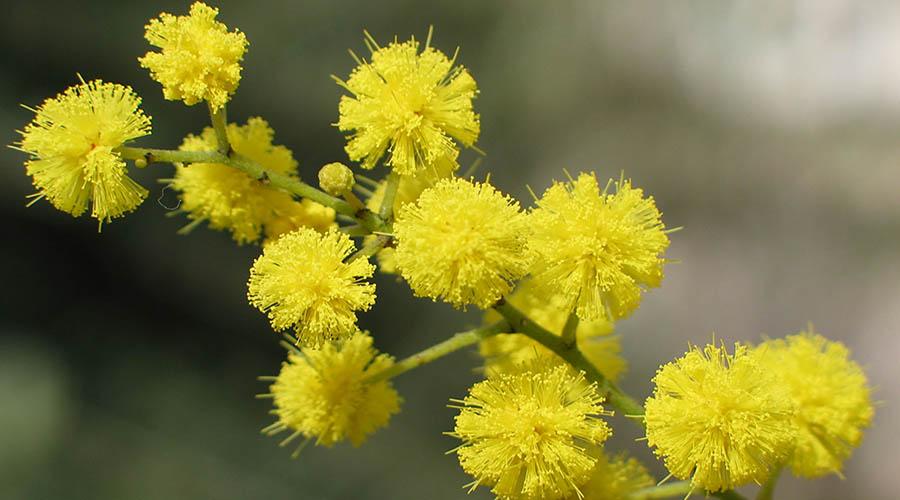 mimosa festa donna giornata internazionale 8 marzo