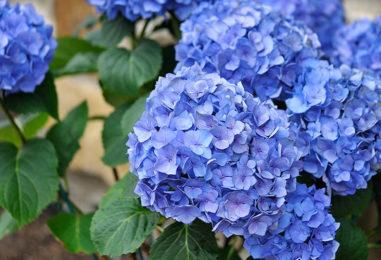 Festa delle Ortensie: fiori, profumi e colori a Bolsena
