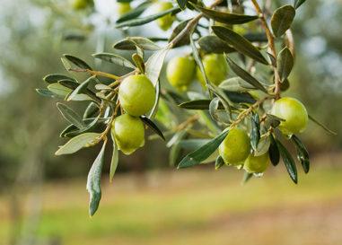 Japan Olive Oil Prize, aperte le iscrizioni al concorso 2020
