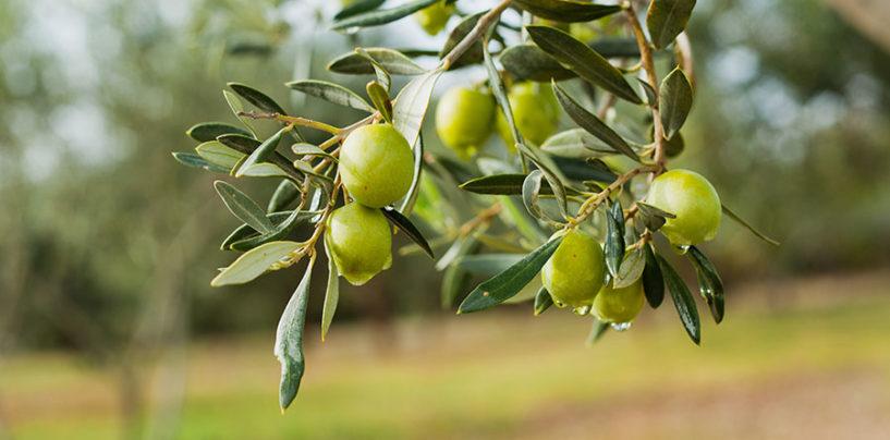 JOOP, a Tokyo il premio mondiale per i migliori oli extravergine d'oliva