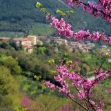 Valnerina in rosa per la fioritura dell'Albero di Giuda