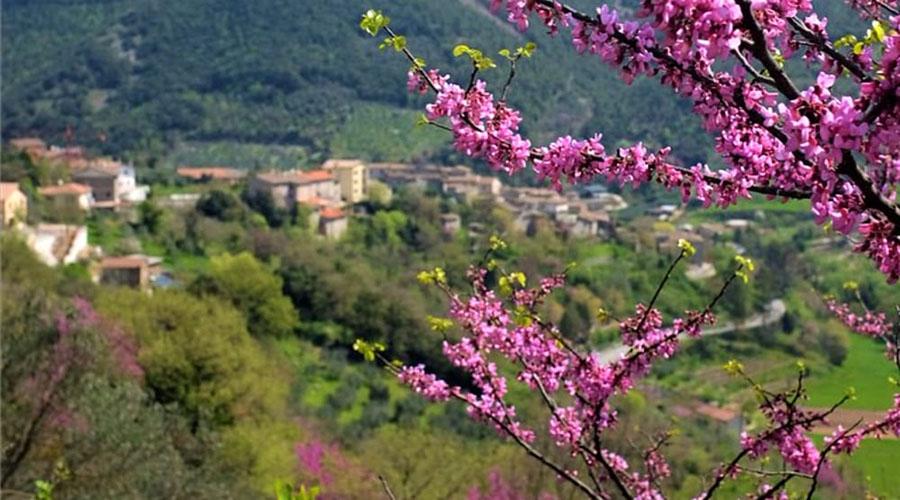 L'albero di Giuda colora di rosa e lilla la Valnerina