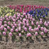 Tuscia Flower, il parco dei tulipani non può aprire per il coronavirus