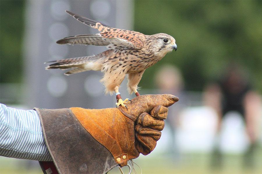 Conoscere l'arte della falconeria, un evento accessibile